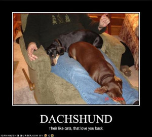 funny dachshund photos (13)