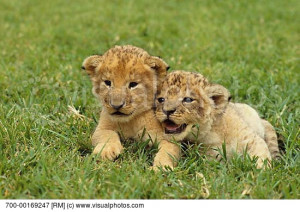 lion lion cub lying down mammal nature new nobody playing portrait ...