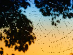 Morning Dew Hecklinghyena