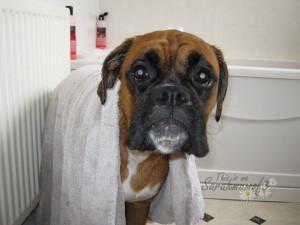 through our boxer dog photos – beautiful photos of our boxer dog ...