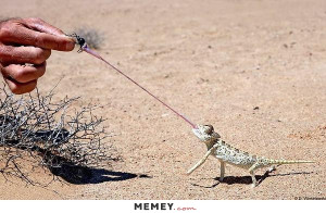 Lizard Using Its Tongue