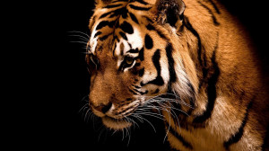 mm81-tiger-jk-dark-animal-love-nature