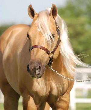 2004 AQHA palomino stallion