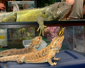 Related Pictures bearded dragon wins on a 10 count