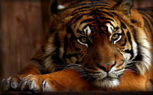 Animals Tigers Lions Pictures Tiger HD wallpapers