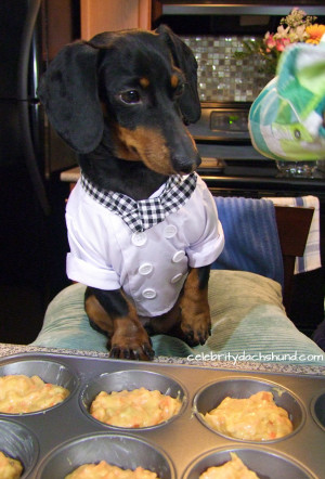 funny dachshund baking cupcakes