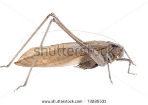Insect Brown Katydid Isolated On White Stock Photo 73285531 ...