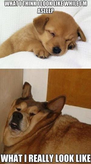 Puppy Sleeping Vs. Lazy Old Dog Sleeping Meme