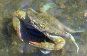 Blue Crab Kindergarten
