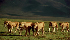 Strength and Majesty: The King of the Beasts