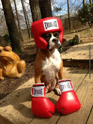 funny-picture-boxer-dog-as-boxer.jpg