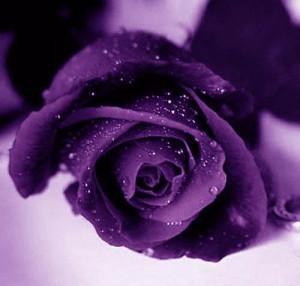purple_rose.jpg image by jrodsnana