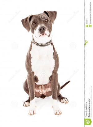 Sad Pit Bull Pit bull mixed breed dog