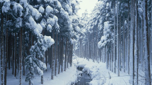 Winter Woods Trees Wallpaper