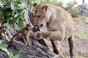 Lioness Defend Baby Baboon after Killing his Mother (10 pics)