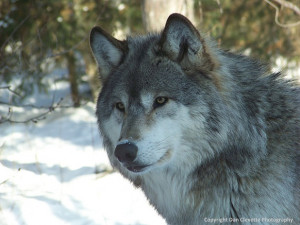 Wolf Photography, Wildlife Photography,