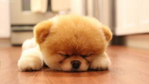 Sweet_Cute_Boo_Dog_puppy%2B%286%29.jpg