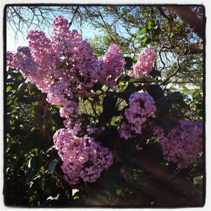 Grandma Grace's lilacs on the ranch.