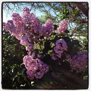 Grandma Grace's lilacs on the ranch.