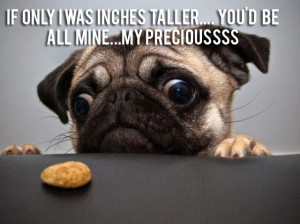 Funny Pug Pictures (21)