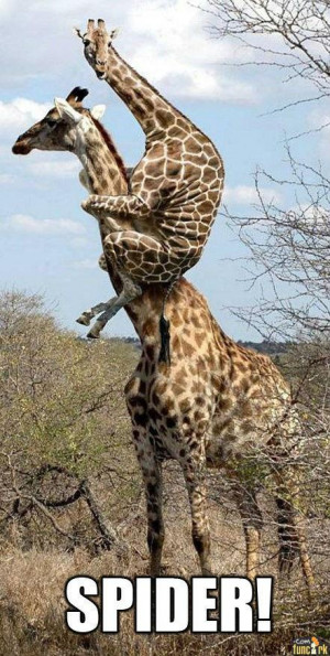 FunCork.com - Pictures - Giraffe Spider