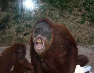 Funny Oranguta...