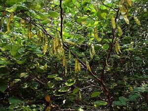 Looks Like Green Bean Tree