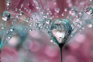 Gorgeous Macro Photographs of Dew-Soaked Dandelions by Sharon ...