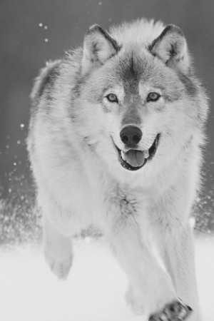 cute, foto, lobo, lobo branco, photo, quote, quotes, white wolf, wolf