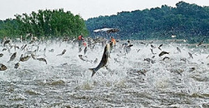 Search Results for: Asian Carp Jumping