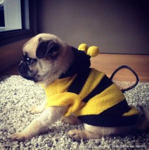 bumble bee pug