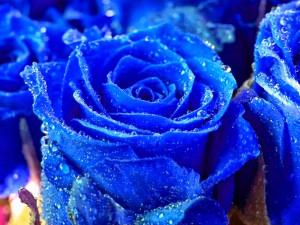 Roses Wallpapers Beautiful Blue Rose Wallpaper Allneed