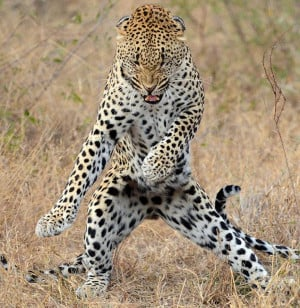SEE IT: South African leopard cub has moves that would make Psy ...
