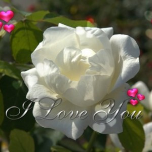 White Roses Pictures with Love Quotes