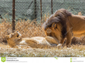 ... lion and lioness love displaying 17 images for lion and lioness love