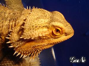 Thread: HELP! Bearded Dragon Skin Problems (Pics Inside)
