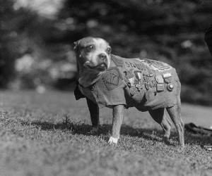 ... bull type dog was a hero of world war i he is the only dog that has