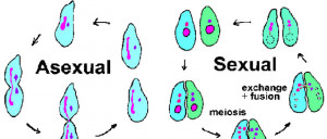 Asexual Reproduction Binary Fission