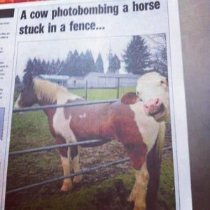 Big News Here in Australia: Cow Photobombs a Horse Stuck in a Fence