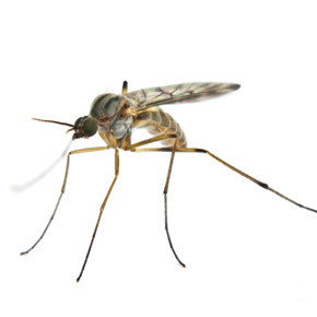 Florida Mosquitoes Facts