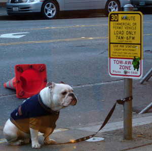 ... bulldog, english funny bulldog image, bulldog image, english bulldog