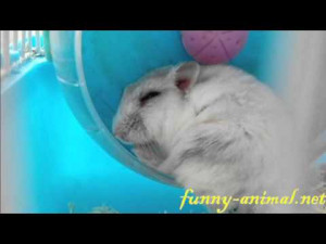 ... Just For Share Enysuryo Types Hamsters Hamster Funny Pictures pictures