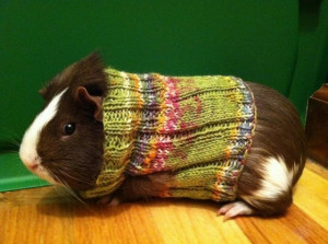 Guinea pigs in sweaters (you're welcome)