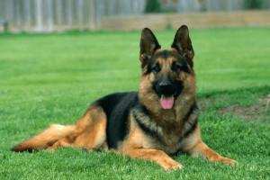 German Shepherd Dog Insurance