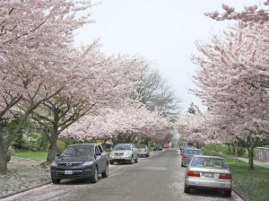 The cherry trees are spectacular. I really love the fallen flower ...