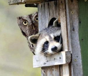 Are you looking for me is a funny image of an owl and a raccoon.