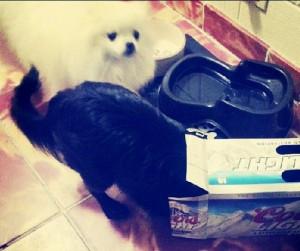 Troublemaker friend with Nola the Cloud cute white Pomeranian dog via ...