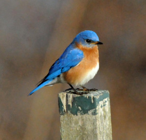 Eastern Bluebird Landing