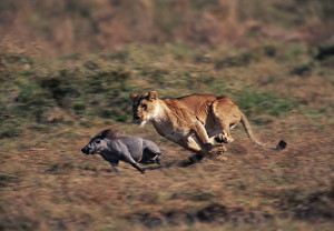 Running From Predator Prey