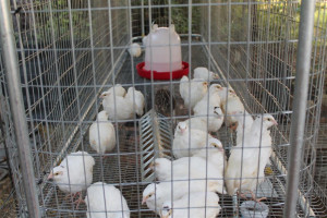 Quail Cages and Pens Plans